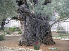 Jesus' Olive Tree in the Garden of Gethsemane, Jerusalem.  A study conducted by the National Research Council of Italy in 2012 found that several olive trees in the garden are amongst the oldest known to science. Dates of 1092, 1166 and 1198 CE were obtained by carbon dating older parts of the trunks of three trees. DNA tests show that the trees were originally planted from the same parent plant.