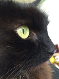 #cat #black #eye #fluffy #cute #animal