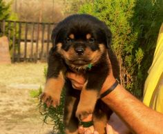 Rottweiler Dog Photo Cute Rottweiler Puppy Face Image