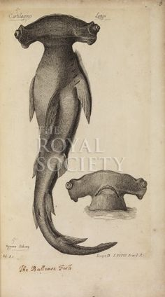 willughby, f_historia piscium_1686_hammerhead_tabb1 The Royal Society - The History of Fish