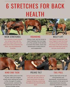 Here are 6 stretches to help your horses back health. Horse Behavior, Horse Therapy, Equine Massage Therapy, Horse Riding Tips, Trail Riding, Shiatsu, Horse Information, Horse Exercises, Horse Anatomy