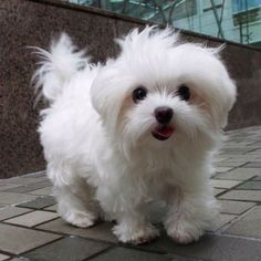 Maltese and Children: Is It a Good Combination - Champion Dogs Teacup Puppies, Cute Puppies, Cute Dogs, Dogs And Puppies, Doggies, Teacup Maltese, Cute Baby Animals, Animals And Pets, Sweet Dogs