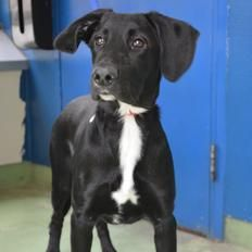 3 to 6 months old male Labrador cross, short hair, medium, black with white.