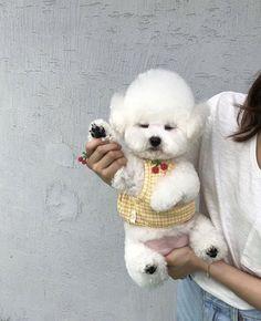 Bichon Dog, Bichon Frise, Cute Puppies, Cute Dogs, Dogs And Puppies, West Highland Terrier, Cute Little Animals, Vintage Cartoon, Shih Tzu