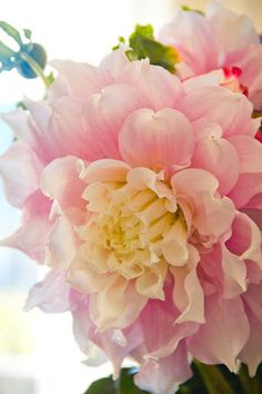 Dahlia ~ This is so pretty, I love delicate looking pink flowers. Amazing Flowers, My Flower, Pretty In Pink, Pink Flowers, Beautiful Flowers, Bloom, My Secret Garden, Dream Garden, Pink Garden