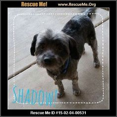 Rescue Me ID: 15-02-04-00531Shadow (male)  Maltese Mix  Age: Adult   Shadow is a very sweet 8 year old Yorkie Maltese mix. After his mom passed away he and his brother Sunny were left to fend for themselves.. Their only attention someone coming to feed them each day. Now these boys are looking for their forever homes! Shadow is a very sweet, submissive guy who loves nothing more than to hang out with his people. He will be neutered, UTD on his shots, and microchipped for his new ...
