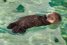 Sea Otter Mom and Pup Visit Monterey Bay Aquarium - ZooBorns