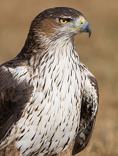 """The Bonelli's Eagle, a mid-sized bird of prey (22-26"""" long) in S Europe, Africa, the Middle East & S Asia. These eagles will foster orphaned chicks of their species in an empty nest if egg or chick loss was only a few hours earlier. They'll also foster chicks in the post-fledging dependence period. (Other raptors also do this.) The bird's name commemorates Italian ornithologist, Franco Bonelli."""