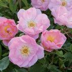 今年の新品種 - David Austin Roses