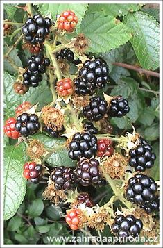 Gardens Of The World, Food Videos, Blackberry, Flora, Gardening, Beautiful, Fitness, Garden, Lawn And Garden