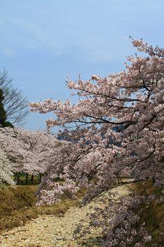 SAKURA #tanba #hyogo #japan