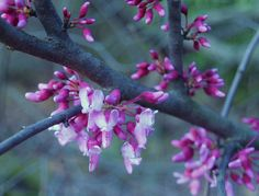 The native redbud flowers at the start of April with blooms covering the branches for several weeks.
