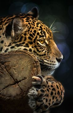 ~~Jaguar by Anek S~~ keep animals free! Nature Animals, Animals And Pets, Cute Animals, Wild Animals, Beautiful Cats, Animals Beautiful, Jaguar, Gato Grande, Small Cat