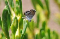 Western Pygmy Blue (Brephidium exilis) | Mana, Kaua`i