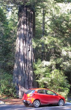 5. Took a drive through the Redwood National Park just south of Crescent City.  When  harvesting of coastal redwoods began in the early 1850s, over two million acres of old-growth redwood forests existed.  It took less than 60 years to reduce this number into hundreds-of-thousands of acres. By the late 1910s, a preservationist group called the Save-the-Redwoods League began purchasing large tracts of redwood acreage in an effort to save the quickly disappearing forests.