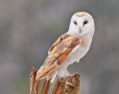 barn owl. - Google Search