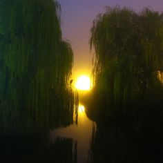 weeping willow at sunset
