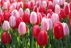 Tulip Delight Mix from Longfield Gardens - Year of the Tulip - National Garden Bureau
