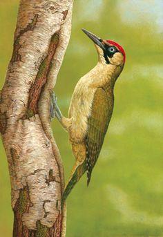 Green Woodpecker in Silver Birch Print, Robert Fuller Artist