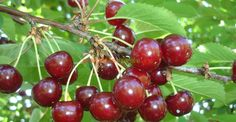 Cum se face altoirea cu ramură detașată, sub scoarța terminală Fruit Art, Fruit Trees, Fruits And Veggies, Vegetables, Garden Planning, Grape Vines, Garden Landscaping, Cherry, Beautiful