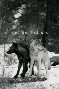 Trust Your Instincts--Gray Wolves--Wolf Den Shared Infinitely Wolves Photo I love this photo. It's symbolic and like the Cherokee Proverb about the 2 wolves within. Arktischer Wolf, Wolf Love, She Wolf, Wolf Den, Beautiful Creatures, Animals Beautiful, Cute Animals, Baby Animals, Arctic Wolf