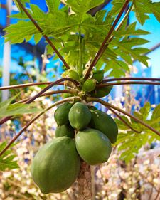 Papaya trees grow well indoors and start forming fruit in as little as 6 months.  However, you need both male and female plants in order to get a successful pollination.  Originally pinned by Ramesses Meryamun.
