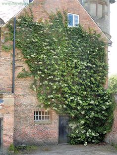 Hydrangea petiolaris is good for climbing up north facing walls