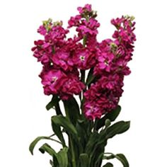 Our light pink stock flowers are a great filler to accent floral stock hot pink flower mightylinksfo