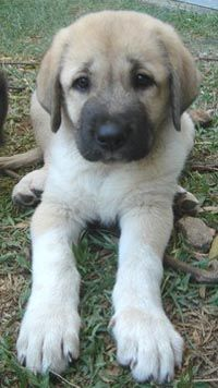 I have an anatolian shep mix, Im thinking this is what my guy looked like as a pup...Kenai this is for you bud!