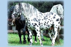 Noriker horse from Austria Big Horses, Horses And Dogs, Horse Love, Show Horses, Dressage Horses, Appaloosa Horses, Draft Horses, All The Pretty Horses, Beautiful Horses