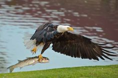 An American bald eagle attempting to take to the skies in Florida saw Brian Birkenhead of London win round 194