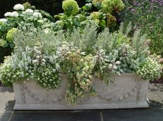 Alyssum, lavender, silver posie thyme and tricolor sage make a pale ruff around a blue foliaged escheveria in this old stone box. The peach flowers of the echeveria-a bonus. Though delicate in appearance, these plants are drought and frost resistant.