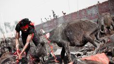 Find must know facts about Gadhimai festival of Nepal. Things to do in Gadhimai festival is stopping animals sacrifice. Animal Slaughter, Law And Justice, Post Animal, Big Animals, Stop Animal Cruelty, Animal Welfare, Animal Rights, Going Vegan, Nepal