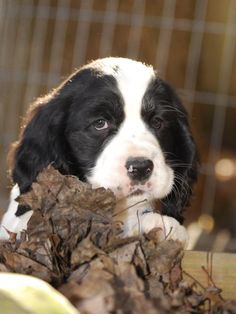 Another great pic taken by Heather Kent-Serock of my Springer pup.