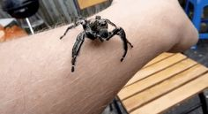 Jumping ones.   19 Reasons Why Arachnophobes Should Give Australia A Miss