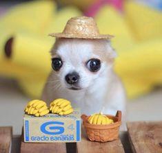 Chihuahua Dog - Chiwawa Dog Information Funny Animal Jokes, Funny Dog Memes, Cute Memes, Cute Funny Animals, Funny Dogs, Baby Animals Pictures, Cute Animal Photos, Funny Animal Pictures, Cute Chihuahua