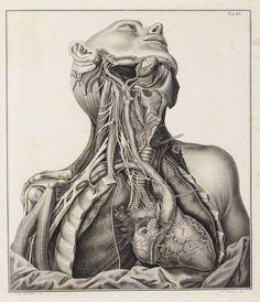 male upper torso & throat vintage anatomical drawing
