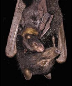 MOTHER BAT WITH HER PUP  Year Of The Bat - Basic Bat Physiology. BATS ARE VERY GOOD & CARING MOTHERS