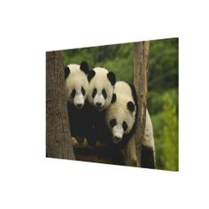 ==> reviews          	Giant panda babies Ailuropoda melanoleuca) Gallery Wrap Canvas           	Giant panda babies Ailuropoda melanoleuca) Gallery Wrap Canvas today price drop and special promotion. Get The best buyDeals          	Giant panda babies Ailuropoda melanoleuca) Gallery Wrap Canvas ...Cleck Hot Deals >>> http://www.zazzle.com/giant_panda_babies_ailuropoda_melanoleuca_canvas-192282439752233637?rf=238627982471231924&zbar=1&tc=terrest