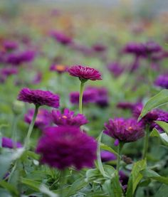 (Purple zinnias) a goal without a plan is just a wish