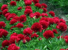 Eliza Lundy, ALM 2011 Originator: (Krekler [Herbaceous Hybrid] Bloom period: Early Midseason to Midseason Flower form: Bomb A Best Landscaper Peony Tree Peony, White Plants, Red Peonies, Peonies Garden, Amazing Flowers, Dream Garden, Spring Flowers, Green Colors, Shrubs