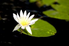Not all of our aquatic plants retired in early fall. You'll still find a few beauties floating in the Conservatory.