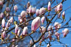 Magnolien-Blueten vor blauem Himmel I © birgit kolmer I biko-d-sign.de