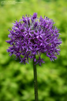 Bloom for February 16, 2012 is Allium giganteum 'Globemaster'.  Photo by Abby44.