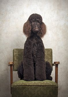 Poodle The Adorable Dog - The Pooch Online Dog Training Methods, Dog Training Techniques, Best Dog Training, Poodle Cuts, Portrait Studio, Puppy Obedience Training, Positive Dog Training, Easiest Dogs To Train, Tier Fotos