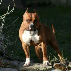 . Xl Pitbull, American Pitbull, Pitbull Terrier, Bully Dog, American Staffordshire, Pit Bull Love, Pit Bulls, Beautiful Dogs, Best Dogs