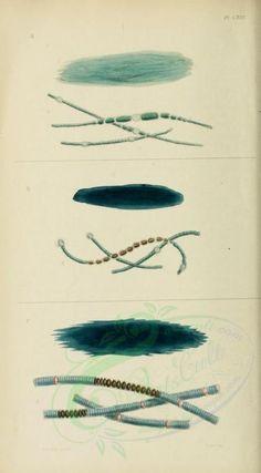 Phycologia britannica, or, A History of British sea-weeds. Ernst Haeckel, Leaf Book, Book Crafts, Fabric Art, Botany, Vintage Floral, Bloom, Clip Art, Scrapbook