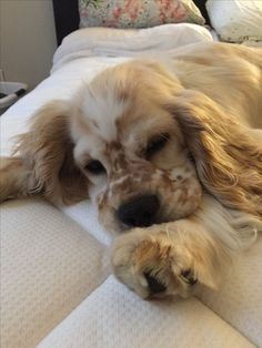 Dog Breeds Little .Dog Breeds Little American Cocker Spaniel, Cocker Spaniel Puppies, English Cocker Spaniel, Clumber Spaniel, Cute Puppies, Cute Dogs, Dogs And Puppies, Doggies, Animals And Pets