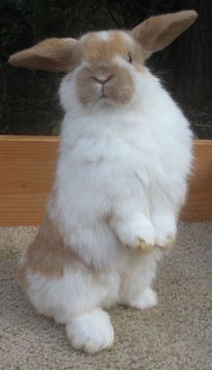 Fluffy handsome rabbit, white and honey. Cute Baby Bunnies, Funny Bunnies, Cute Baby Animals, Animals And Pets, Cute Cats, Lop Bunnies, Cute Bunny Pictures, Bunny Book, Fluffy Bunny