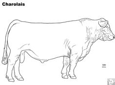 Cattle Breed Coloring Pages - Charolais